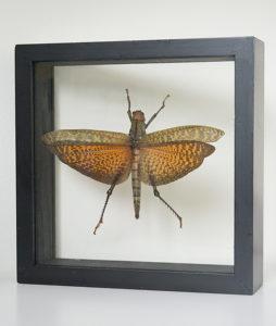Stuffed grasshopper in list Tropidacris dux