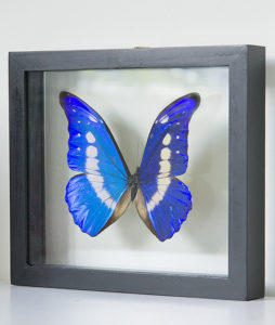 stuffed butterfly in list morpho helena