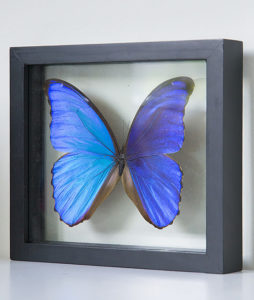 stuffed butterfly in list morpho didius large