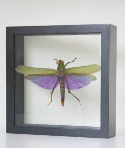 insect in table Titanacris Albipes