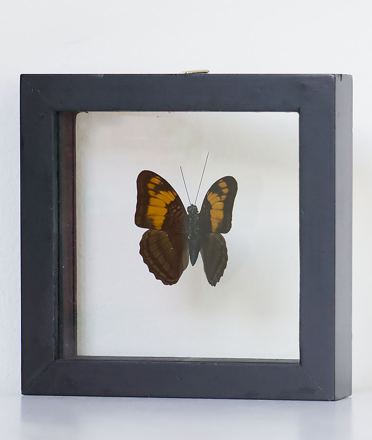 Stuffed butterfly in Marpesia table