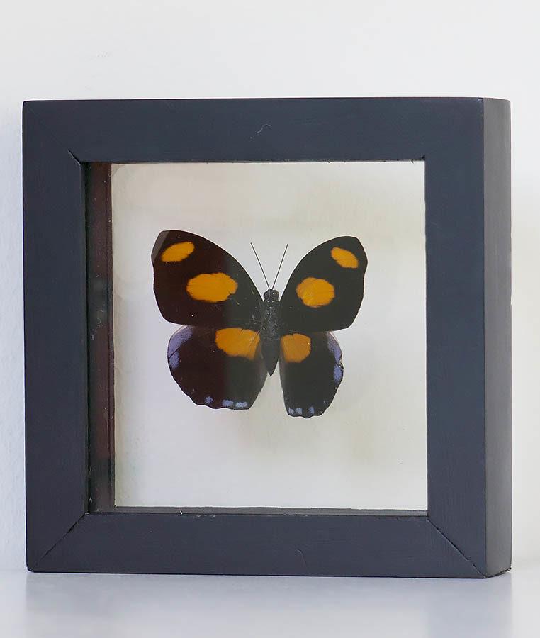 Stuffed butterfly in catonephele Numilia list