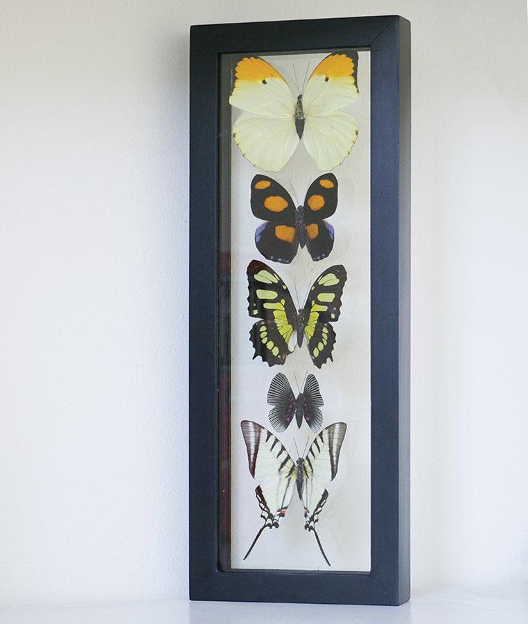 five butterflies in table in double glass