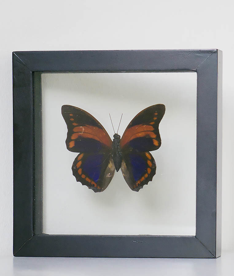 Stuffed butterfly in list Agrias Claudina Lugens