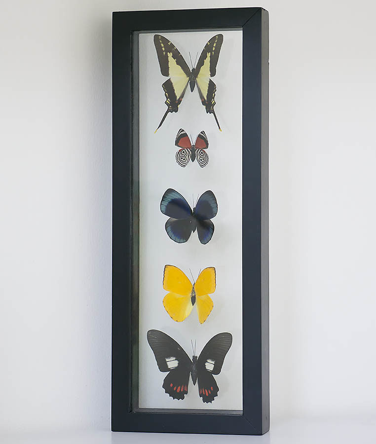 five butterflies in frame in double glass