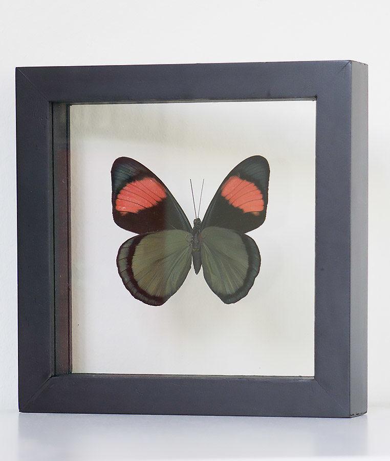 Stuffed butterfly in list Batesia Hypochlora